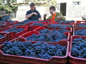Harvest for wines Sisto and Felice